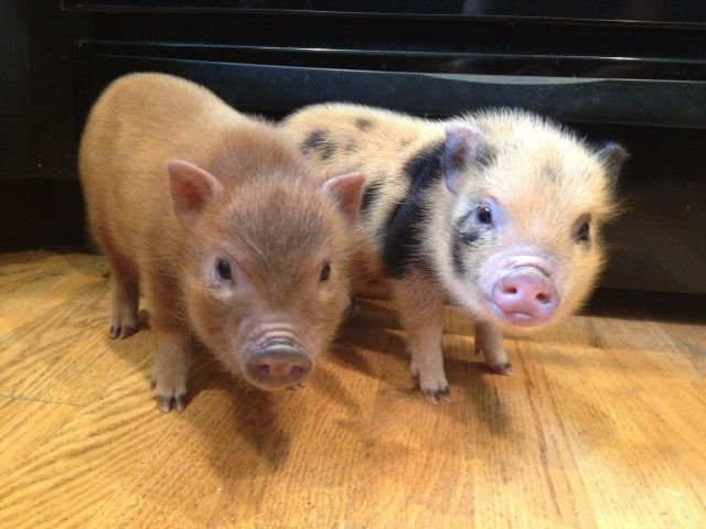 mabel+lean+and+mohogany-mini-pig-parents